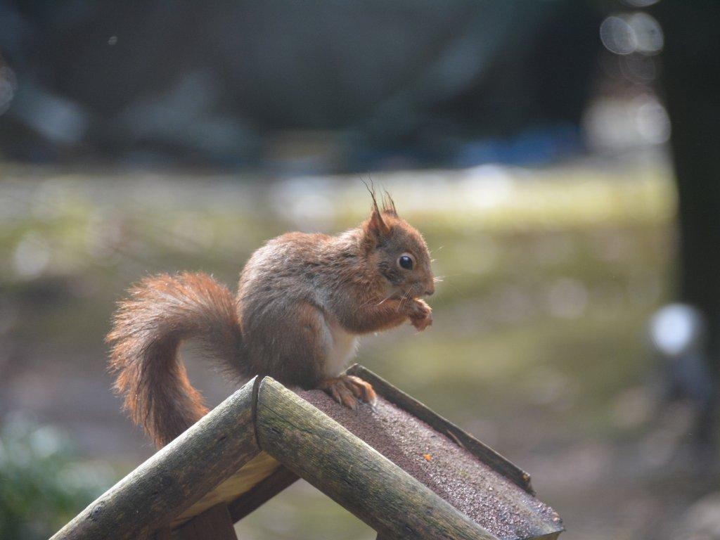 Der Garten wird von Viele Eichhörnchen besucht, Nüsse schmecken gut..